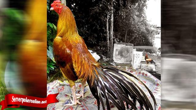 Mudah Gunakan Cara Ini Untuk Ternak Ayam Tarung