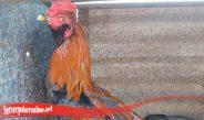 Lebih Mengenali Ayam Langka Brewok S128