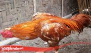 Tidak Sulit Lebatkan Bulu Ayam SV388
