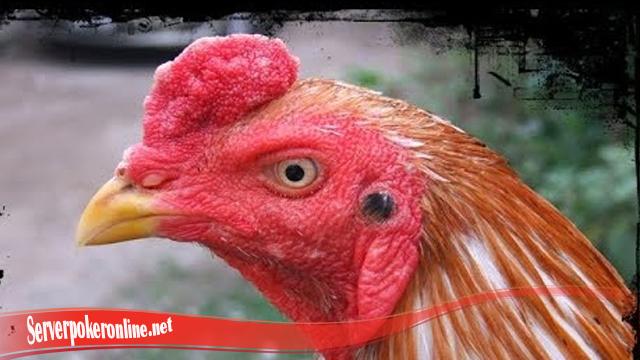 Tidak Sulit Sembuhkan Luka Pada Mata Ayam
