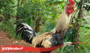 Tidak Sulit Tingkatkan Mental Ayam S128 Yang Jatuh